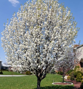Flowering spring trees sun valley landscaping pear tree mightylinksfo