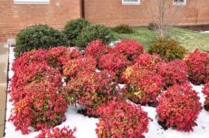 winter shrubs