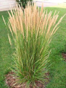 ornamental-grasses